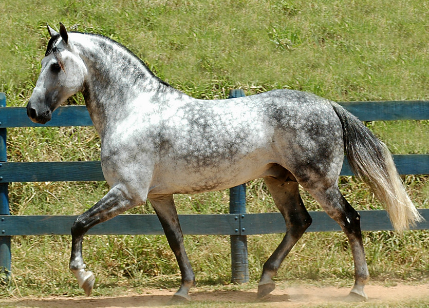 Dapple Gray Horse Facts with Pictures ... |Dapple Grey Stallion